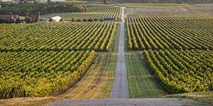 Iločki vinogradi, pogled s Vukova.