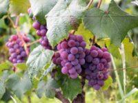 Javni poziv na provedbu mjere Destilacija vina u kriznim slučajevima i mjere Potpora za krizno skladištenje vina